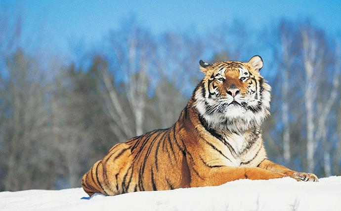 威猛的老虎图片