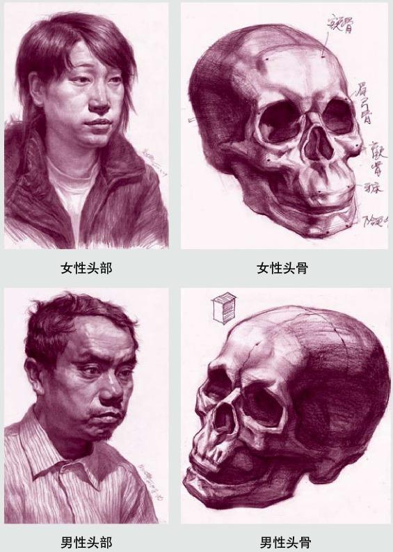 女性头部和男性头部