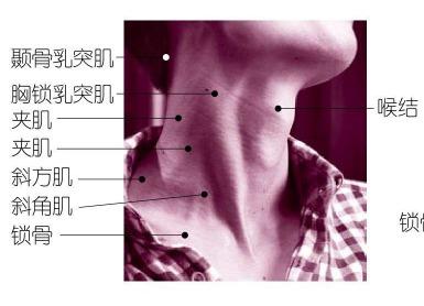 颈部的形态与结构解析