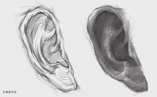 正侧面素描耳朵的画法