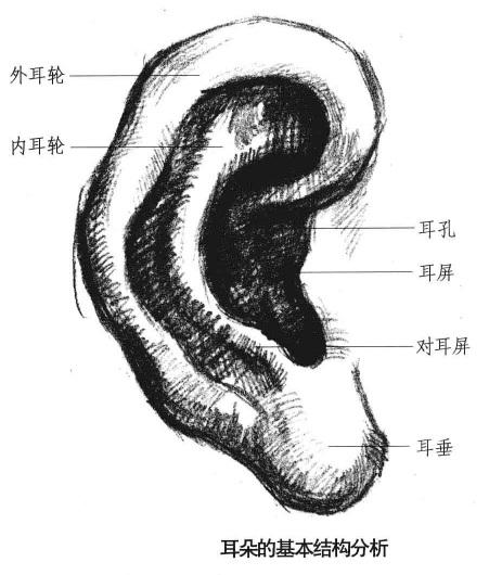 耳朵的基本机构分析