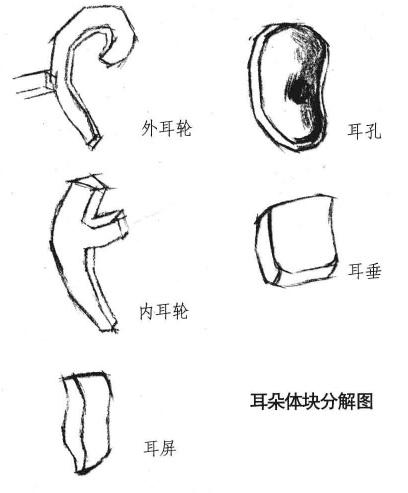 耳朵体块分解图