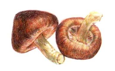 儿童香菇怎么画(2)
