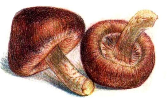 儿童香菇怎么画(3)